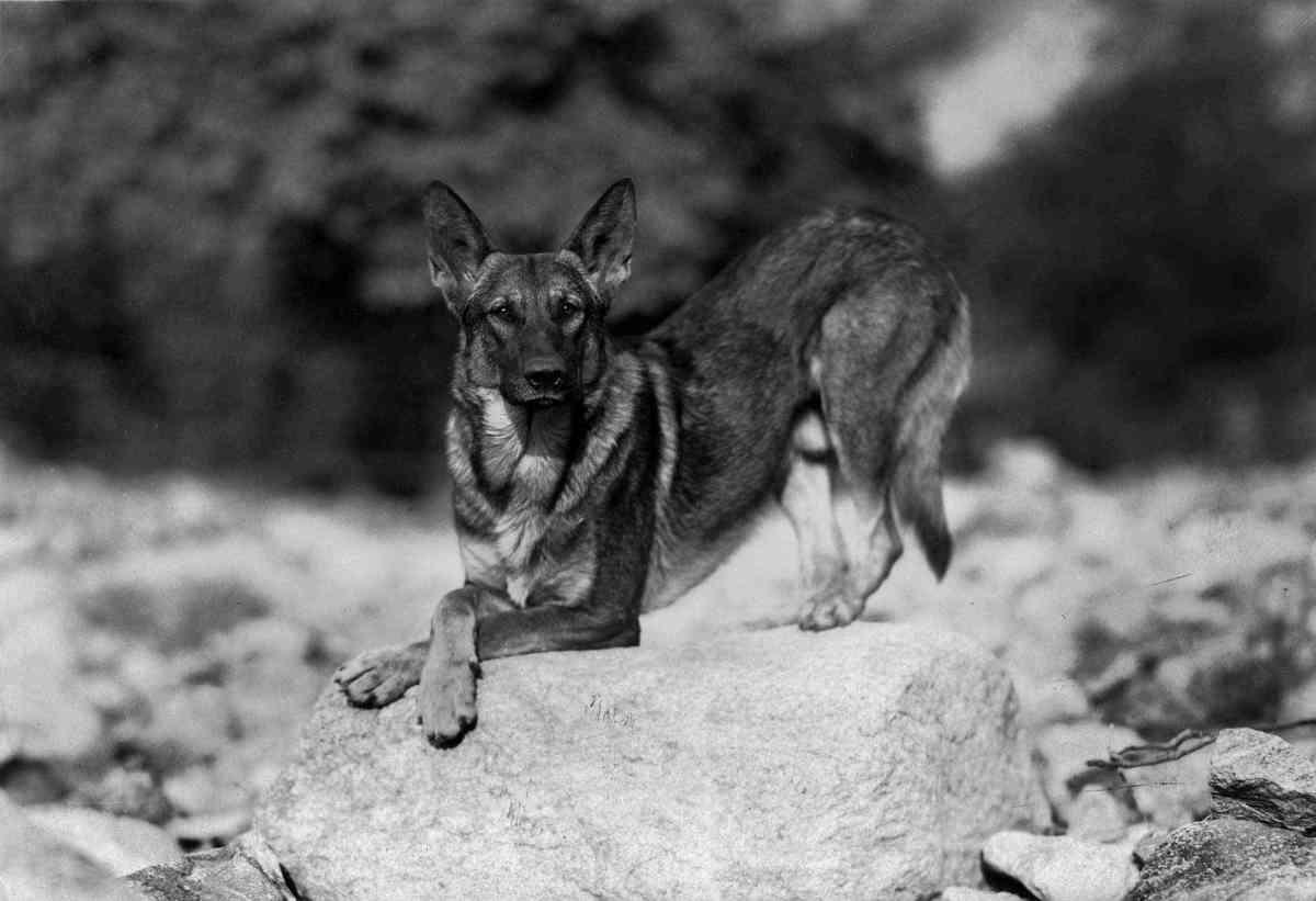 February 8, 1960  Rin TinTin