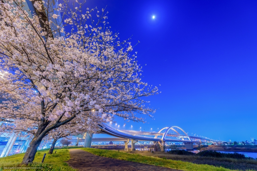 Cherry Trees along the Arakawa