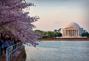 Jefferson cherry trees