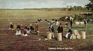 300px-Cranberry_Picking_on_Cape_Cod
