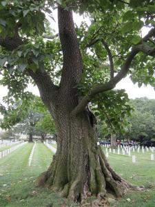royal-paulownia-arlington-cemetery_zpsoytkrgpz