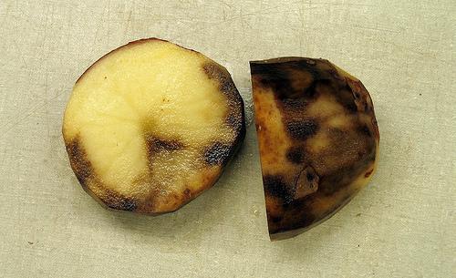 potato-late-blight