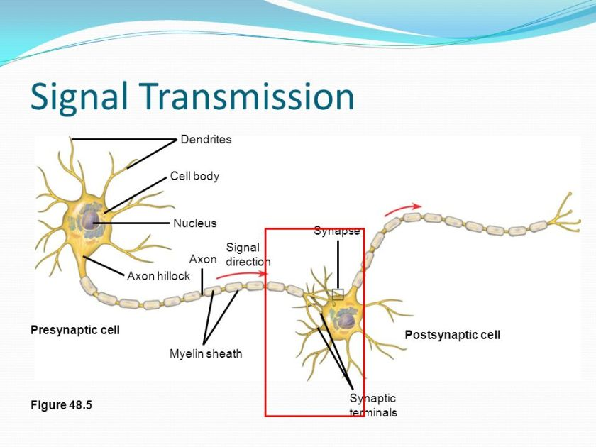 Signal+Transmission+Dendrites+Cell+body+Nucleus+Synapse