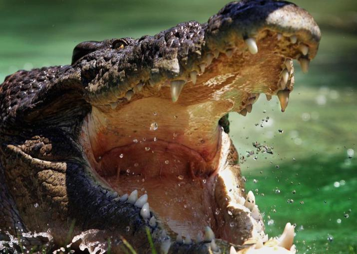 56714641-saltwater-crocodile-is-pictured-at-the-australian.jpg.CROP.promo-large2