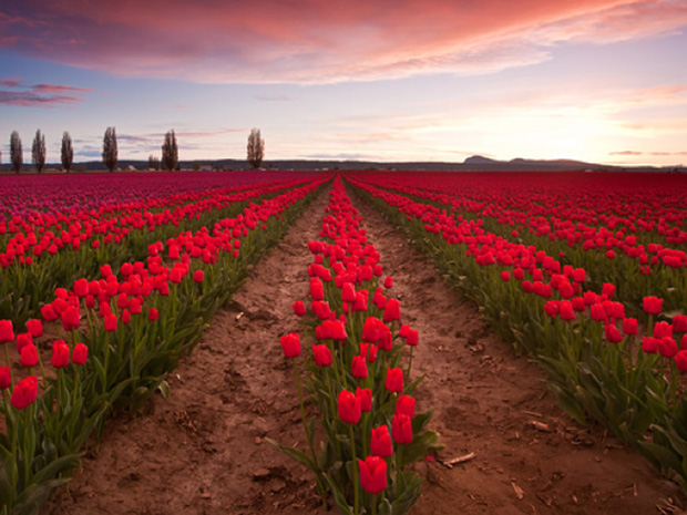 tulipmania-how-a-country-went-totally-nuts-for-flower-bulbs