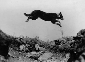 Messenger dog in action in World War I, 1917