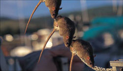 norway_rats_on_rope