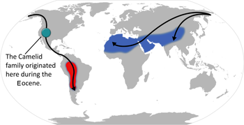 Camelid_origin_and_migration