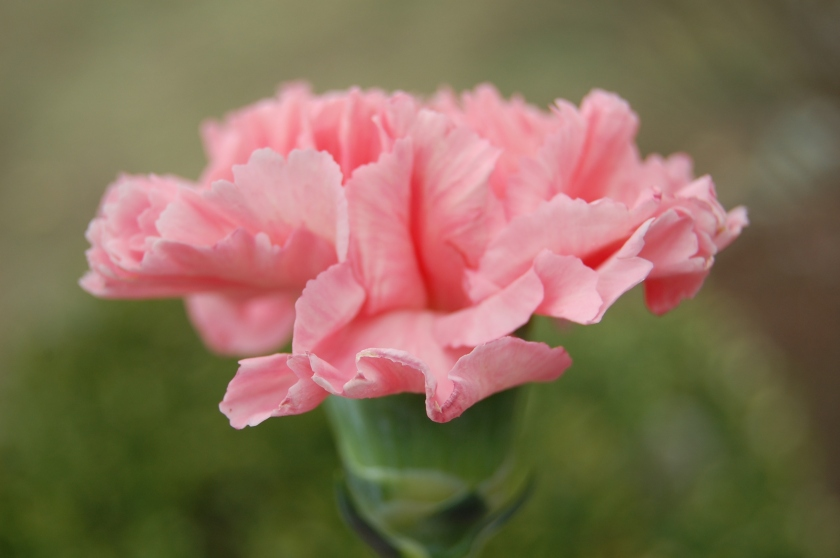 Pink-Carnation-pink-color-34691914-3008-2000