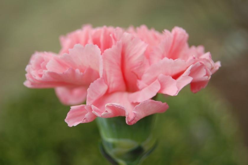 Pink-Carnation-pink-color-34691914-3008-2000