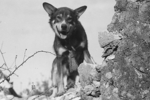 July 9, 1943 The Most Decorated K-9 of WW2