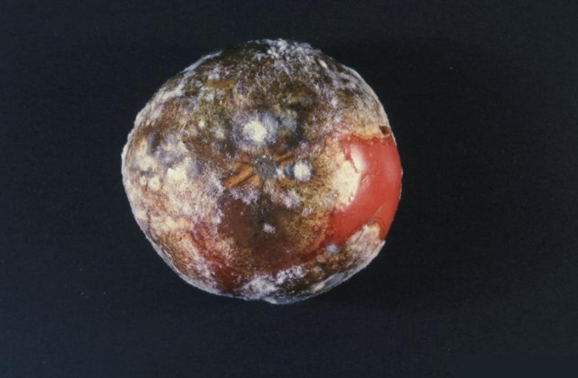 Phytophthora_infestans_(late_blight)_on_tomato