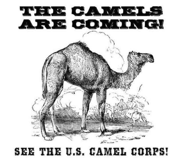 Douglas the Confederate Camel