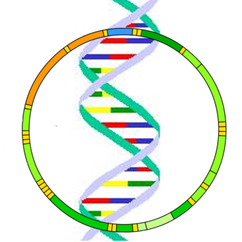 Mitochondrial_DNA