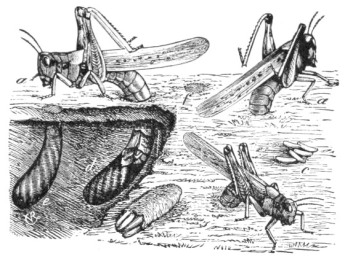 Rocky_Mountain_Locust_oviposition