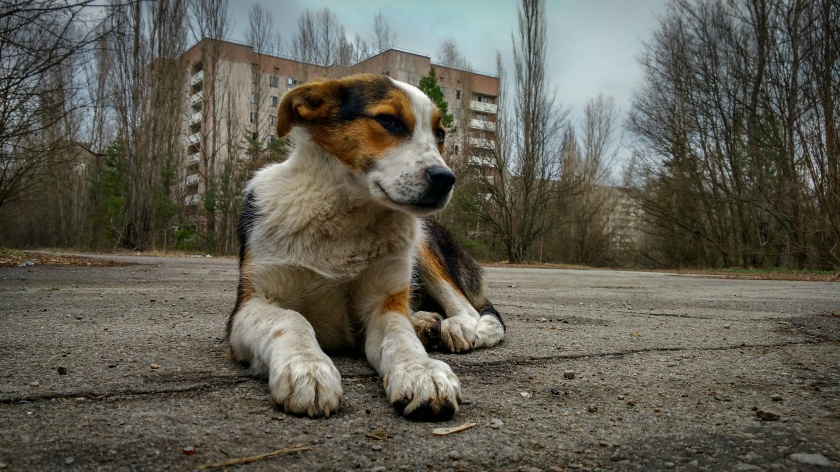homeless wild dog in Pripyat