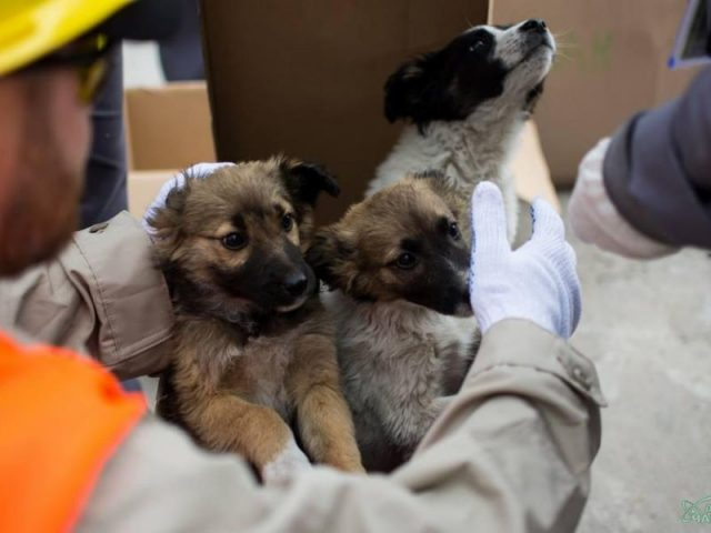 chernobyl_puppies-640x480