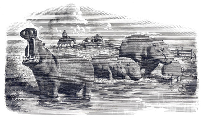 in-1910-President-Roosevelt-supported-a-bill-that-would-have-released-hippopotamuses-into-Louisiana-to-eat-an-invasive-plant-species-and-to-provide-delicious-hippo-bacon-to-hungry-Americ