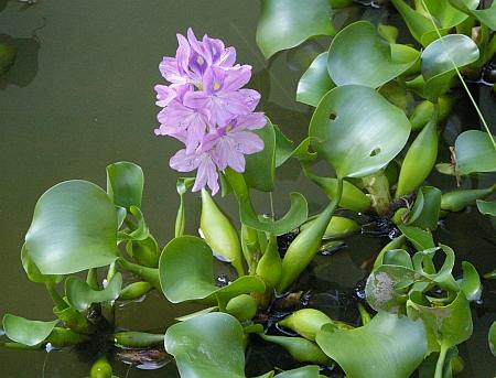 water-hyacinth-eichornia-crassipes