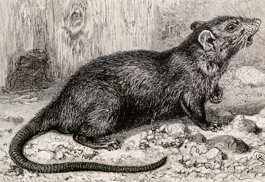 black-rat-19th-century-engraving-spl