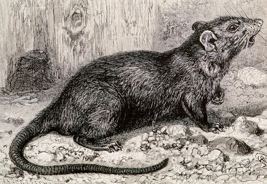 black-rat-19th-century-engraving-spl