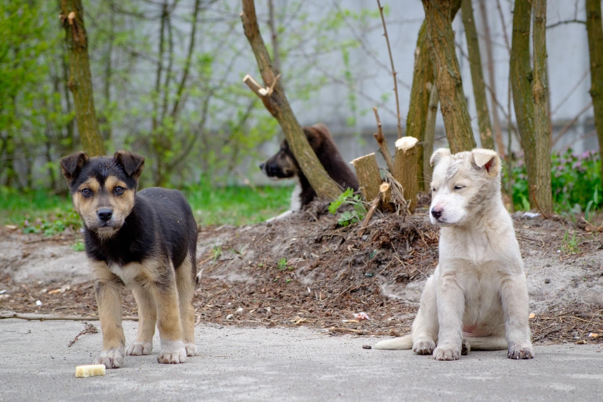 chernobyl-dogs-2