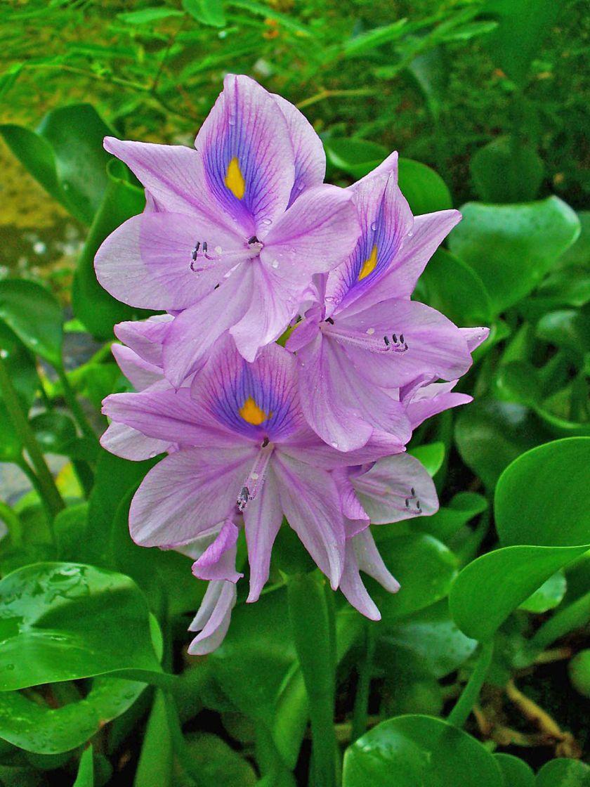 Eichhornia_crassipes_002.JPG