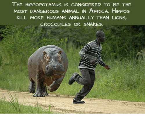 the-hippopotamus-is-considered-to-be-the-most-dangerous-animal-5981600.png