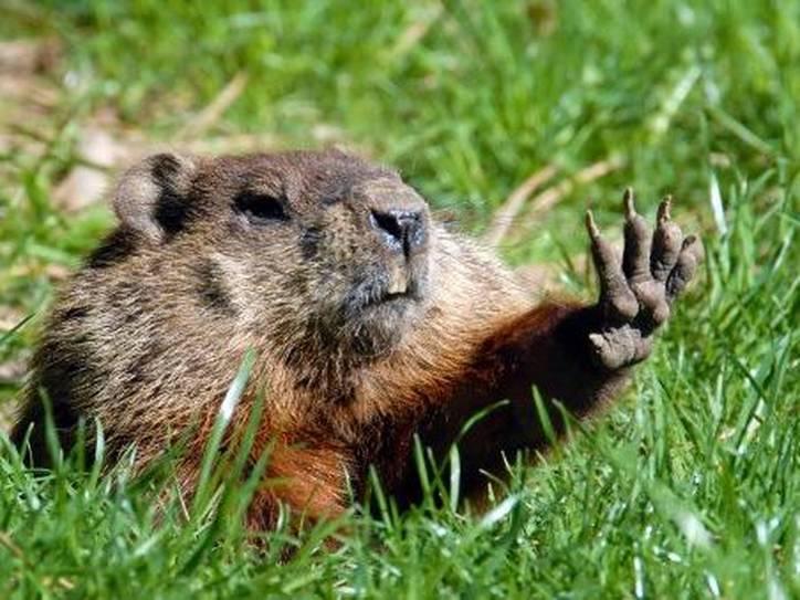 groundhog-raising-paw-7195-21b14fc90e3aa60210825a1411bca610@1x