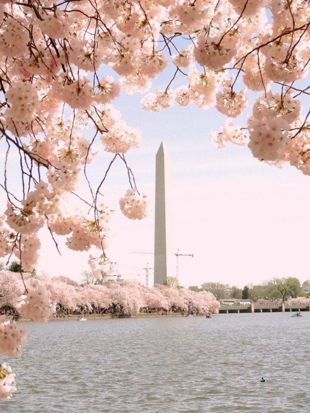 cherry_blossoms_washington_monument_rizka_commons_7b