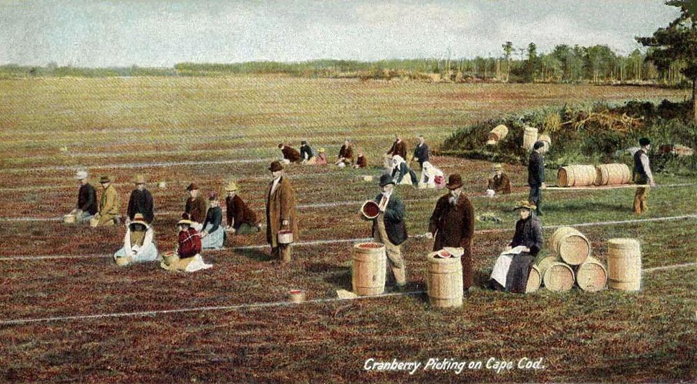 cranberry-picking-around-cape-cod-1906