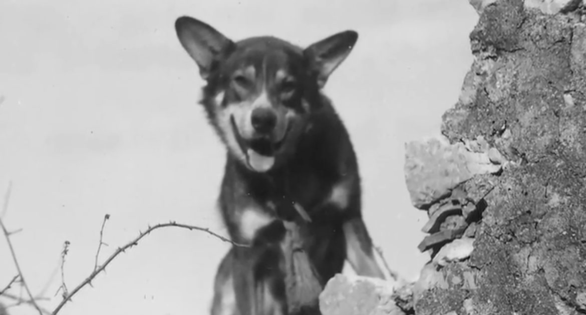 July 9, 1943  The Most Decorated K9, ofWW2